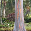 Stock Photo: Rainbow Eucalyptus
