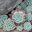 Hens and Chicks or House leek Succulent — Stockfoto