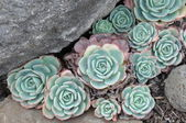 Hens and Chicks or House leek Succulent — Stock Photo