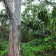 Rainbow Eucalyptus — Stock Photo
