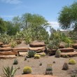 cactus garden — Stock Photo