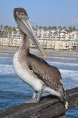 Pelican in California — Stock Photo