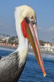 Pelican in California — Stock Photo