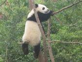 Panda géant — Photo