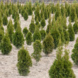 Thuja tree — Stock Photo