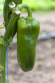 Green pepper — Foto Stock