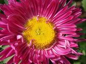 Magenta daisy closeup — Stock Photo