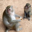 Small funny monkeys — Stock Photo