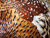 Feathers of the pheasant — Stock Photo