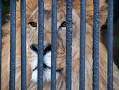 Lion behind bars — Stock Photo