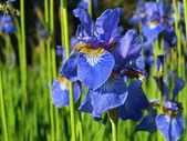 Blue iris flower — Foto de Stock