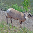 Bighorn sheep river — Stock Photo
