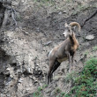 Stock Photo: Bighorn Sheep posed
