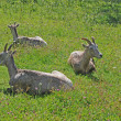 3 Bighorn in grass - Stock Photo