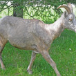 Young Bighorn Sheep - Stock Photo