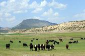 Curious cattle Utah — Stock Photo