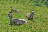 草の中 3 ビッグホーン — ストック写真