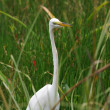 Stock Photo: Egret in Everglades