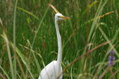 白鹭在沼泽地 — 图库照片