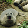 Elephant seal — Stock Photo #27908809
