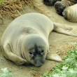 Stock Photo: Shy elephant seal