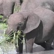Stock Video: Young Elephant eating Tarangire