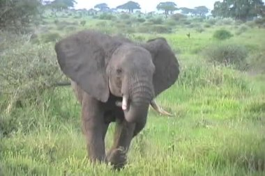 Elephant buff charge Tarangire — Stock Video