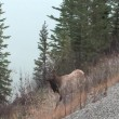 Bull Elk  in Jasper — Stock Video