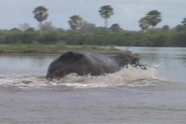 Rufiji River Hippo making big splash — Stock Video