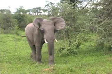 Elephant flopping ears — Stock Video