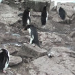 Stock Video: Rockhopper Penguin in Falkland Islands
