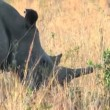 Stock Video: White Rhino in Hluhluwe Game Reserve, South Africa