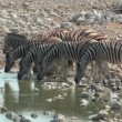 Zebra at the waterhole — Stock Video