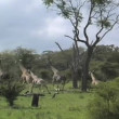 Stock Video: Giraffes running