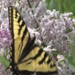 Swallowtail butterfly on a purple Lilac flower — Stock Video