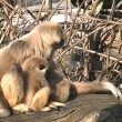 Stock Video: White-handed Gibbon Monkey found in Schonbrunn Zoo
