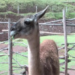 Stock Video: Alpacin Peru, South America