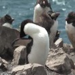 Rockhopper Penguin in the Falkland Islands — Stock Video