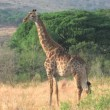 Giraffe in Hluhluwe Game Reserve — Stock Video