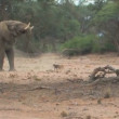 Unusual behaviour by Desert Elephant & dogs in Namibia — Stock Video