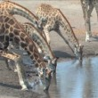 Masai Giraffe in Etosha — Stock Video