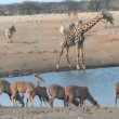 Stock Video: Mixed animals at waterhole