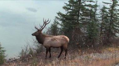 Elk in Jasper Park Alberta — Stock Video