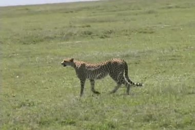 Cheetah walking across the Serengeti — Stock Video