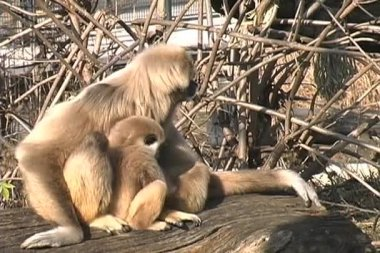 White-handed Gibbon Monkey found in Schonbrunn Zoo — Stok video
