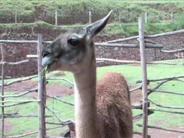 Alpaca in Peru, South America — Stock Video