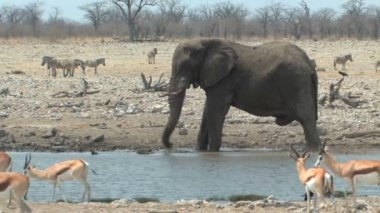Bull Elephant splashing in waterhole — Stock Video