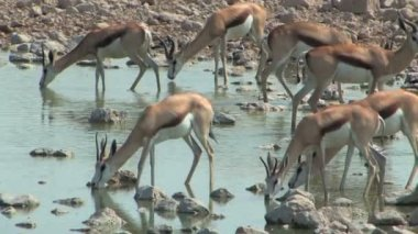 Springbok drinking at water hole — Stock Video
