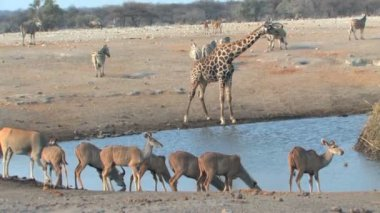 Mixed animals at waterhole — Stock Video