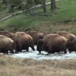 Herd of Buffalo crossing the Madison River — Stock Video